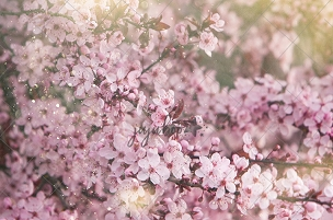 Jujuboo Cherry Blossoms Photography Backdrop